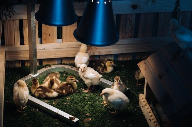 Kleine hühner und entenküken sonnen sich im gras unter einer lampe im hof.