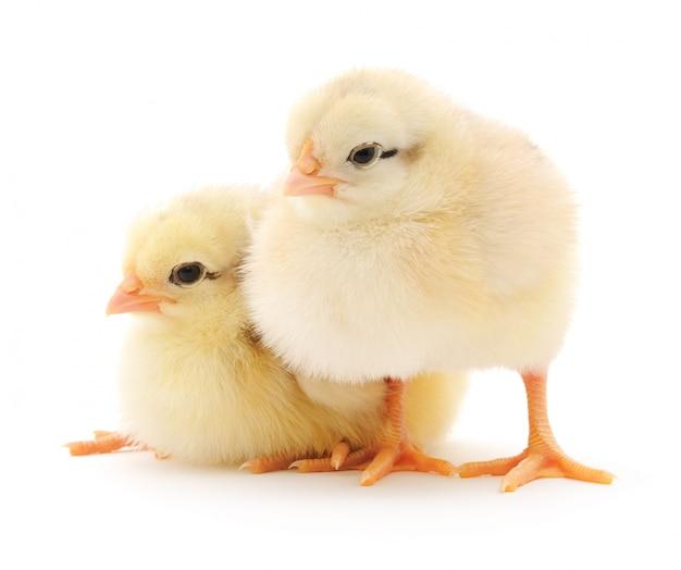 Kleine hühner