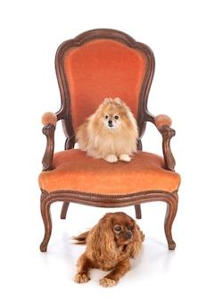 Kleine hunde auf stuhl vor weißem hintergrund