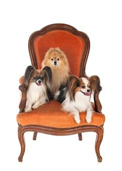 Kleine hunde auf stuhl vorne auf weiß isoliert