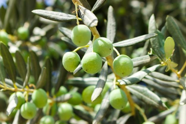 Kleine junge grüne oliven auf baum am sonnigen tag