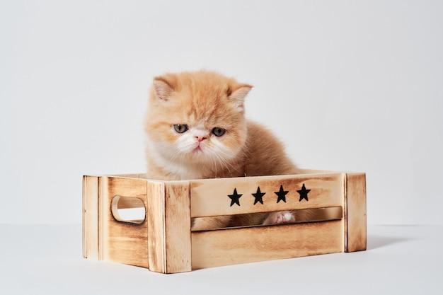 Kleine junge orange exotische katze in einer box