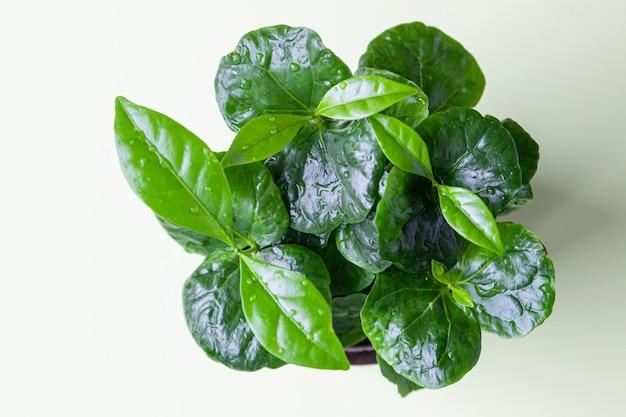 Kleine kaffeepflanze in einer kanne auf einem pastellgrünen hintergrund. kaffeebaum. konzept der hausgartenarbeit.
