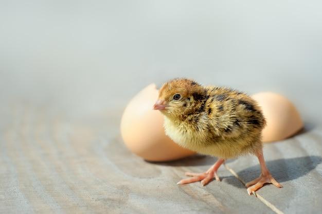 Kleine küken und eierschalen. weicher fokus