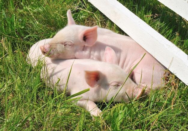 Kleine kuschelnde schweine