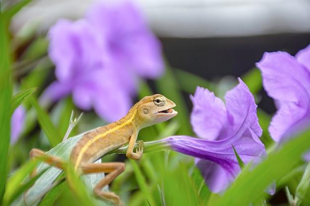 Kleine langschwänzige eidechse essen insekten auf purpurroter blume oder ruellia-squarrosa