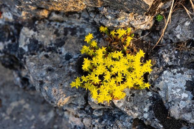 Kleine leuchtend gelbe blüten wachsen in den felsspalten. .