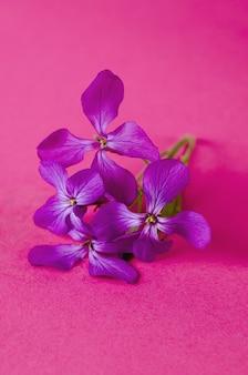 Kleine lila blumenfrühlingsviolette phloxblume gegen farbhintergrund