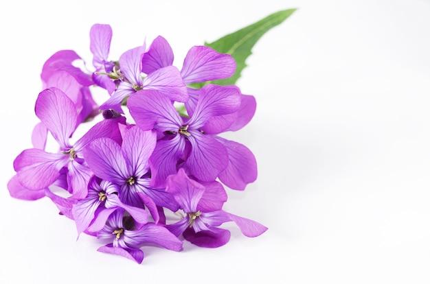 Kleine lila blumenfrühlingsviolette phloxblume vor weißem hintergrund