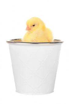 Kleine neugeborene hühner getrennt auf weiß