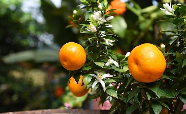Kleine orangenfrucht, die auf einem baum wächst.