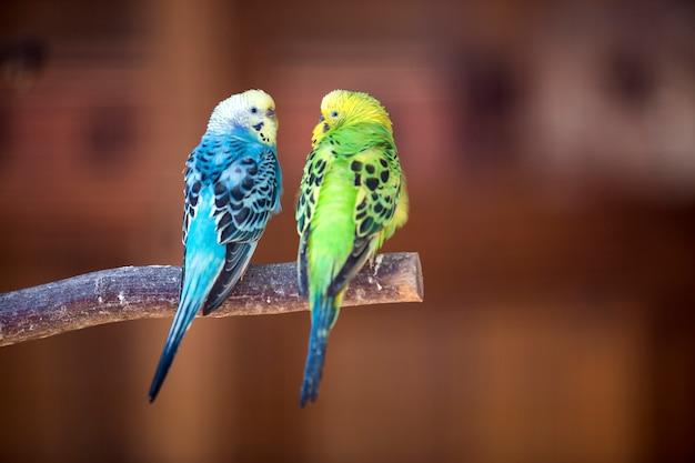 Kleine papageienvögel, hellblau und grün, sitzend auf ast auf unscharfem kopienraum. halten sie haustiere zu hause konzept.