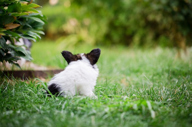 Kleine papillon-welpenrasse, die auf dem gras im garten spielt