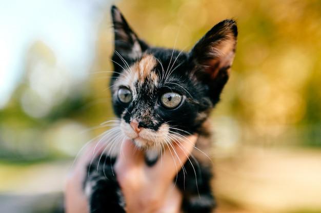 Kleine pelzige reinrassige katze