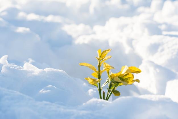 Kleine pflanze, die vom winterschnee freigelegt ist und morgendliches sonnenlicht bekommt