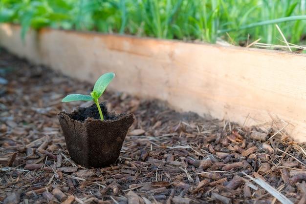 Kleine pflanze sprießen in bio-tasse bereit, im gewächshaus gepflanzt zu werden