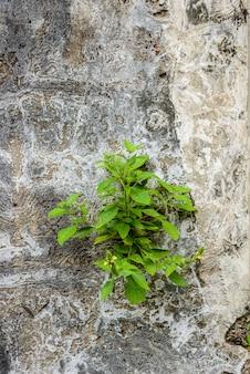 Kleine pflanzen auf alten ruinen ziegelmauer mit beton rissig