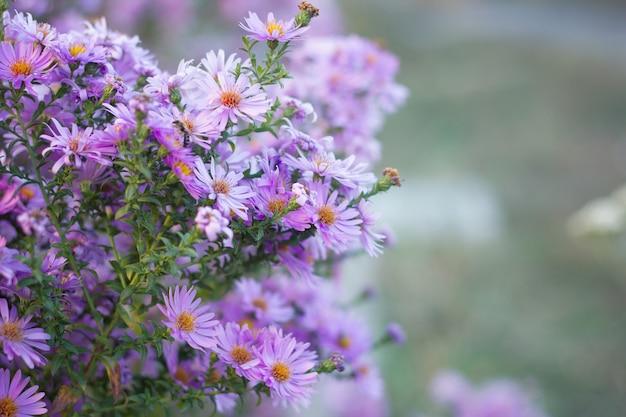Kleine purpurrote blumennahaufnahme, september blüht, späte herbstblumen