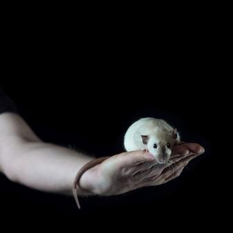 Kleine ratte, die auf der hand eines mannes hält ihren schwanz sitzt