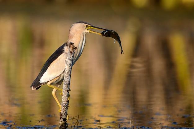Kleine rohrdommel hält sich an einem stock mit einem großen fisch im schnabel fest. (ixobrychus minutus)