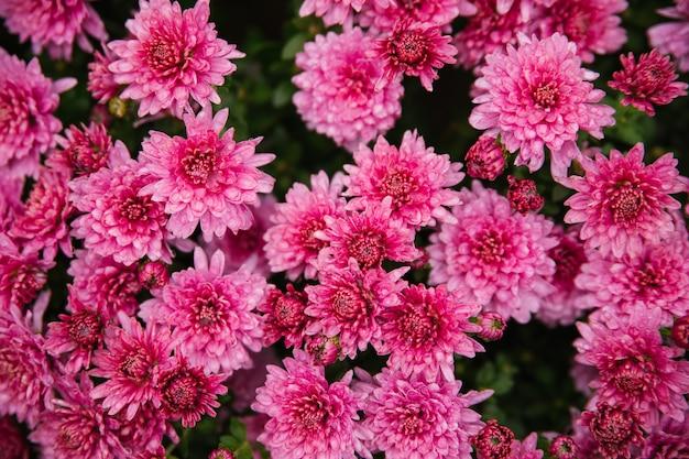 Kleine rosa chrysanthemen oder gänseblümchen wachsen in einem blumenbeet als flauschiger busch. herbst schöner hintergrund. natürliche textur.