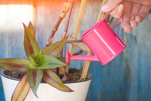 Kleine rosa gießkanne in einer weiblichen hand, welche die blume wässert. alter hölzerner hintergrund