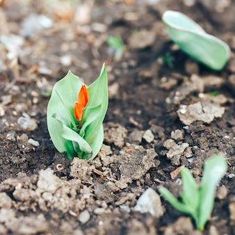 Kleine rote tulpe blüht im garten im frühjahr