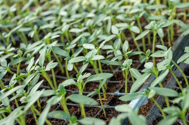 Kleine sämlinge im pflanztablett, das gemüsetablett im bauernhof.
