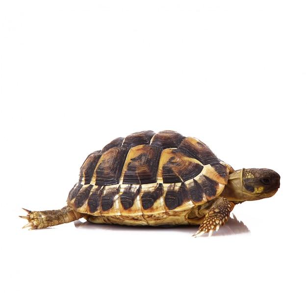 Kleine schildkröte auf weiß