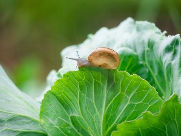 Kleine schnecke kriechen auf gemüseblättern in der regentropfenzeit.