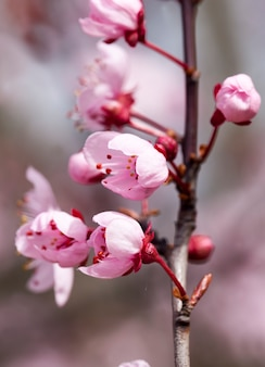 Kleine schöne blühende rote kirschblumen im obstgarten, schöne rosa blüten im frühling oder sommer, blühende früchte apfel- oder kirschbäume, nahaufnahme