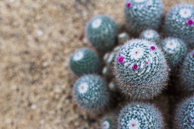 Kleine schöne helle purpurrote rosa blumen auf kaktus