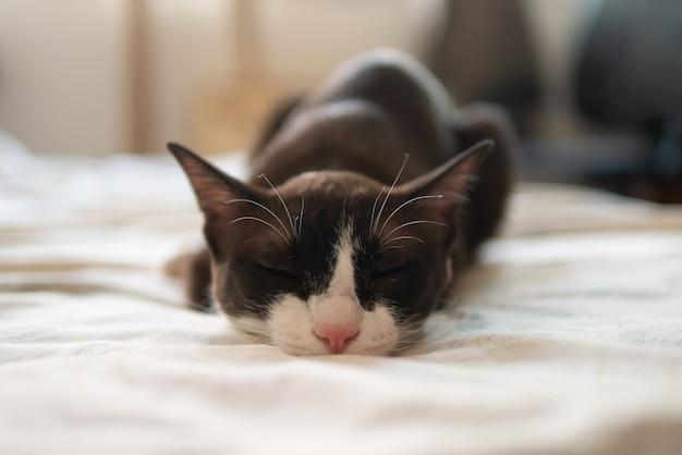 Kleine schokoladenbraune maske mit gesicht und rosa nase kätzchen katze schläft auf bequemem bett