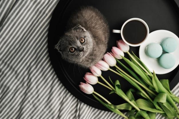 Kleine schottische katze, die auf tablett mit französischen macarons und frischen tulpen mit tasse kaffee sitzt