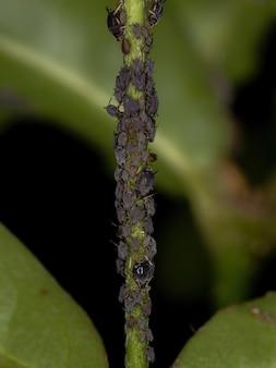 Kleine schwarze blattläuse der familie aphididae