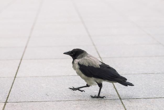 Kleine schwarze krähe geht auf grauen bürgersteig mit copyspace. gehsteig mit kleinem raben. schritte des wilden vogels auf asphaltabschluß oben. raubtier der stadtfauna.