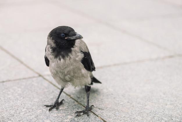 Kleine schwarze krähe geht auf grauen bürgersteig mit copyspace. hintergrund der pflasterung mit kleinem raben. schritte des wilden vogels auf asphalt. raubtier der stadtfauna. schnabel des vogels ist nah oben.