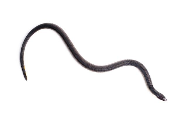 Kleine schwarze schlange auf weißem hintergrund
