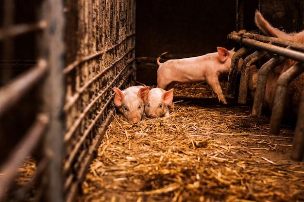 Kleine schweine, die auf heu und stroh in der scheune legen