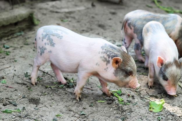 Kleine schweine werden auf dem bauernhof fressen