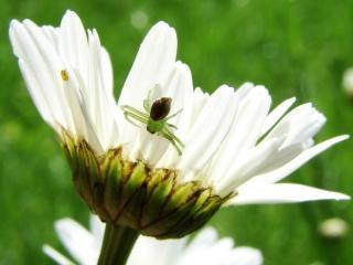 Kleine spinne auf margerite