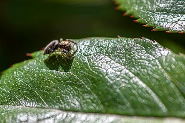 Kleine spinne geht auf dem blatt, aufnahme mit makroobjektiv