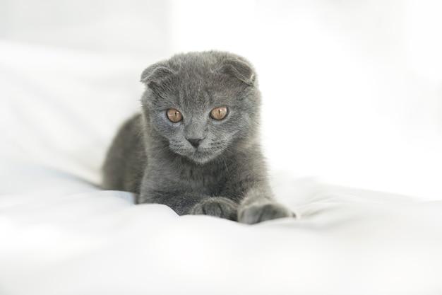 Kleine süße graue schottische miezekatze liegt auf dem weißen sein und schaut in die kamera. porträt von kätzchen, nahaufnahme