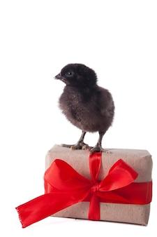 Kleine süße hühner spielen neben geschenkbox mit band auf weißem hintergrund