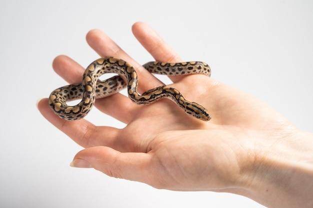 Kleine ungiftige grasschlange auf der handfläche der frau