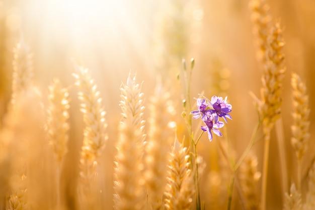Kleine violette blume zwischen goldenen reifen weizenspitzen. ohren des goldenen weizenabschlusses oben