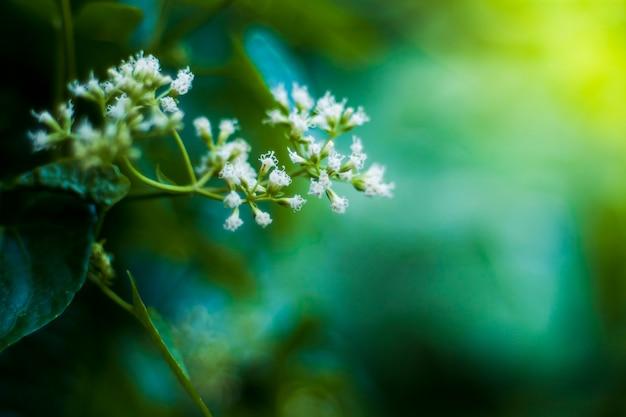 Kleine weiße blumen auf grünem unscharfem naturhintergrund. sommernaturkonzept. saisonaler hintergrund des abstrakten frühlinges mit weißer blume. elegante zarte sanfte romantische szene. nahaufnahme