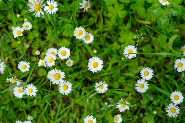 Kleine weiße gänseblümchen
