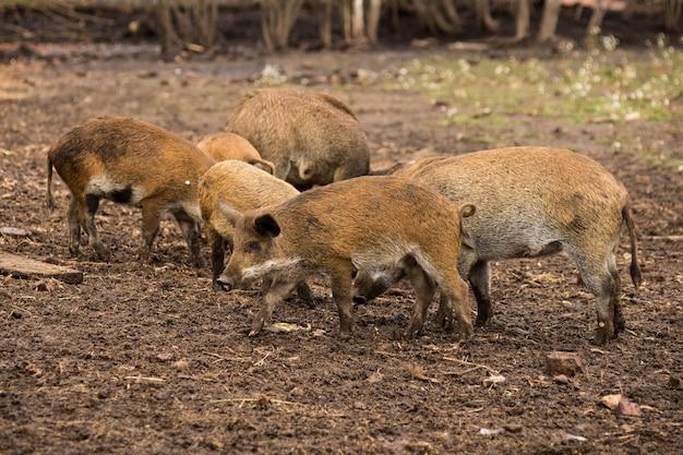Kleine wildschweine graben ihre nasen auf der suche nach nahrung