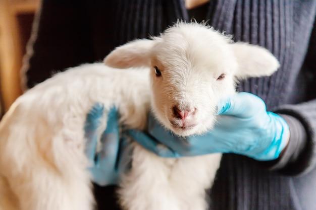 Kleine ziege in den händen eines tierarztes zum füttern. im tutorial fokus.